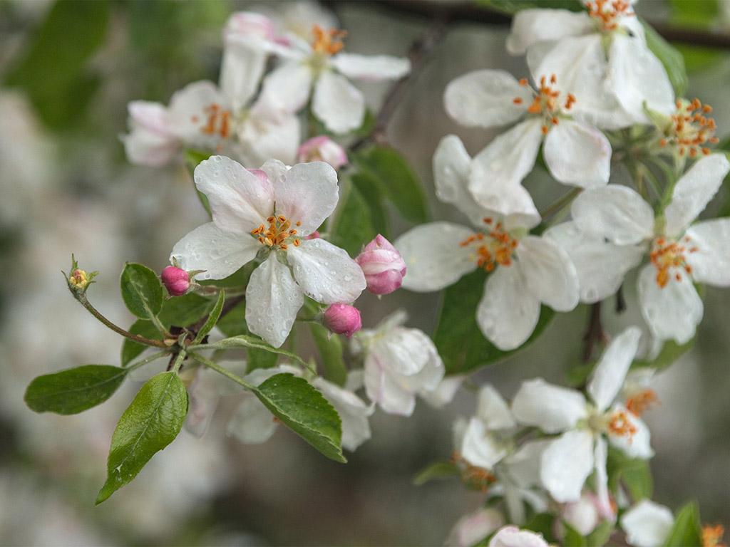 Frühling: Apfelblüte