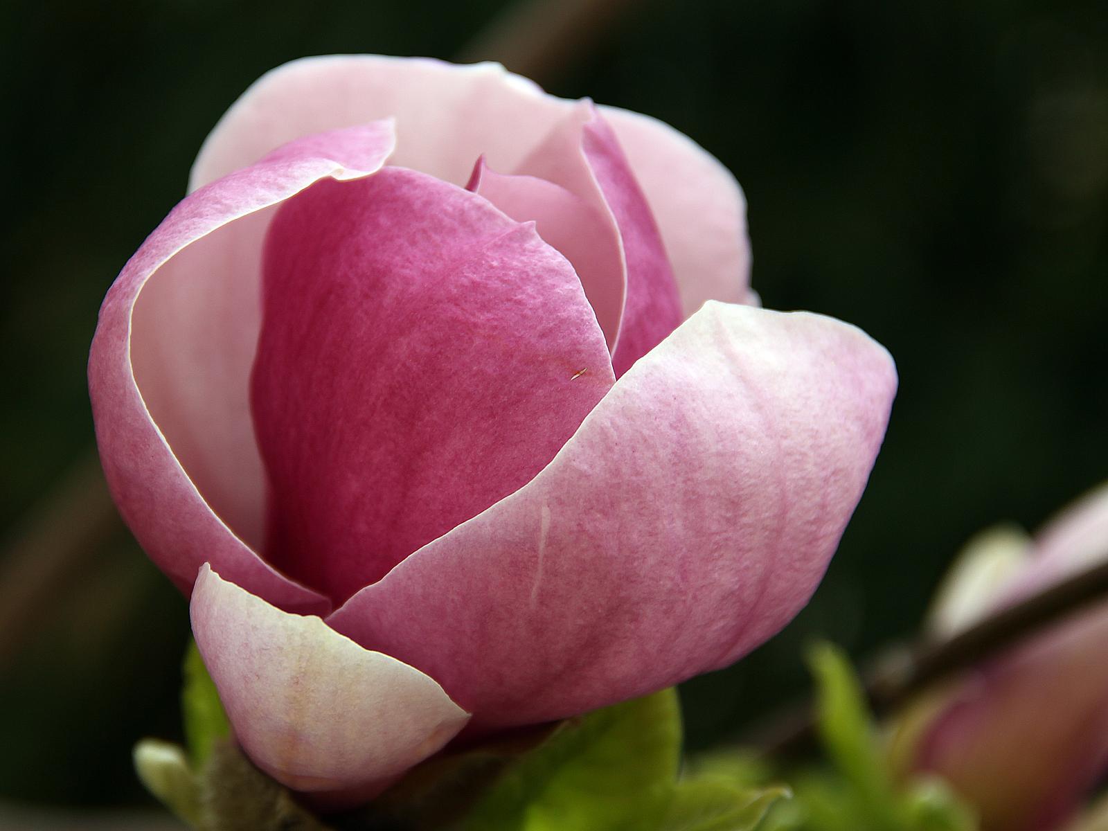 magnolien kostenlose hintergrundbilder fr hling. Black Bedroom Furniture Sets. Home Design Ideas