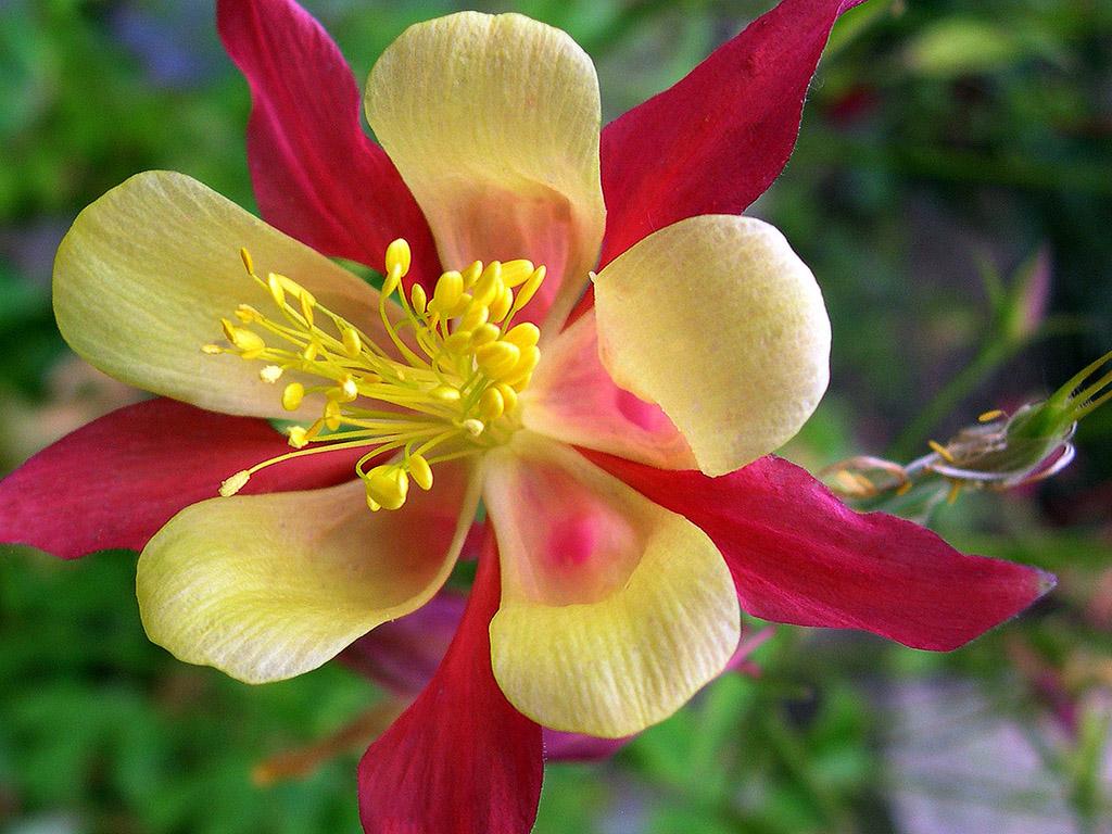 Blume rot-gelb
