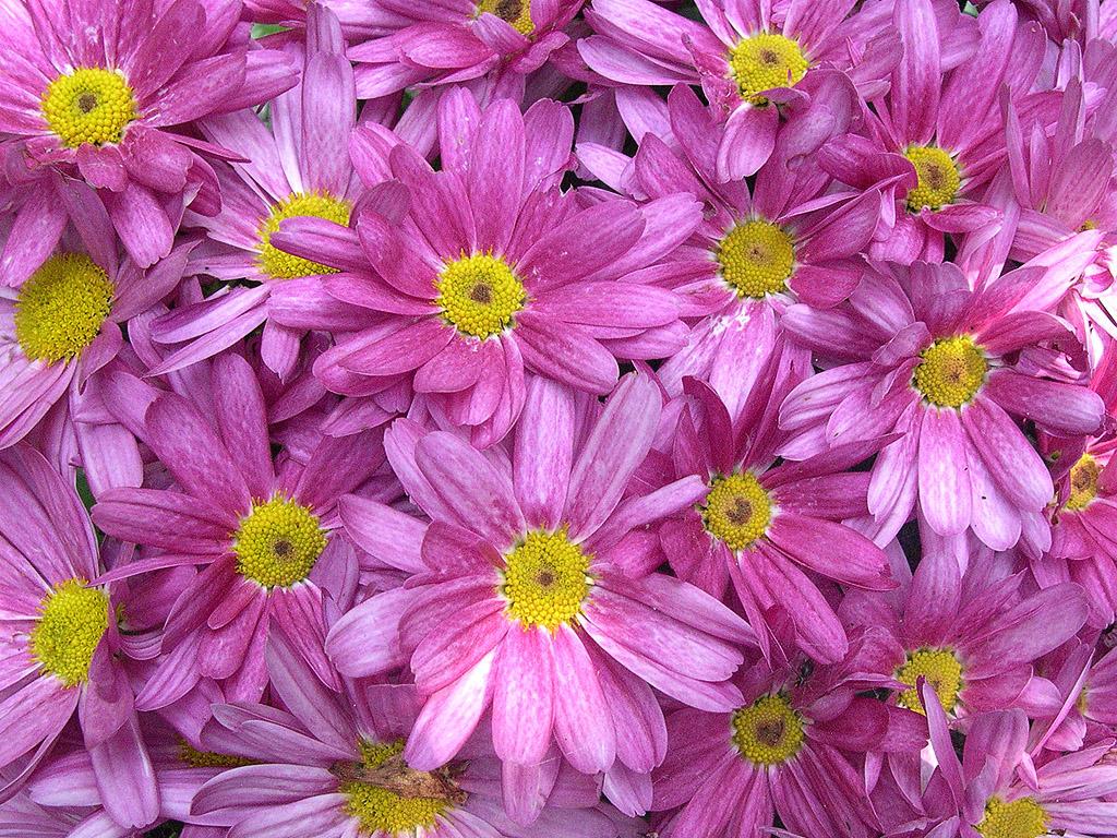 Hintergrundbilder Kostenlos Blumen lila blumen