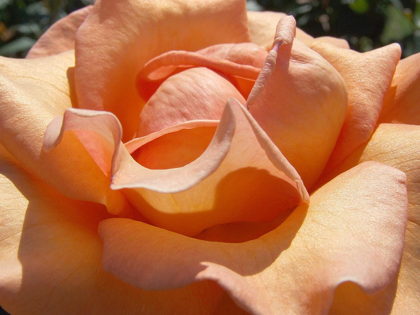 Hintergrundbilder kostenlos rosen
