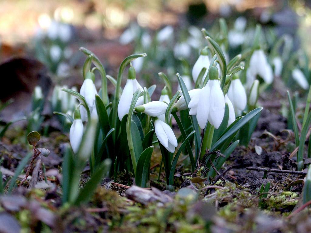 Hóvirág, tavasz