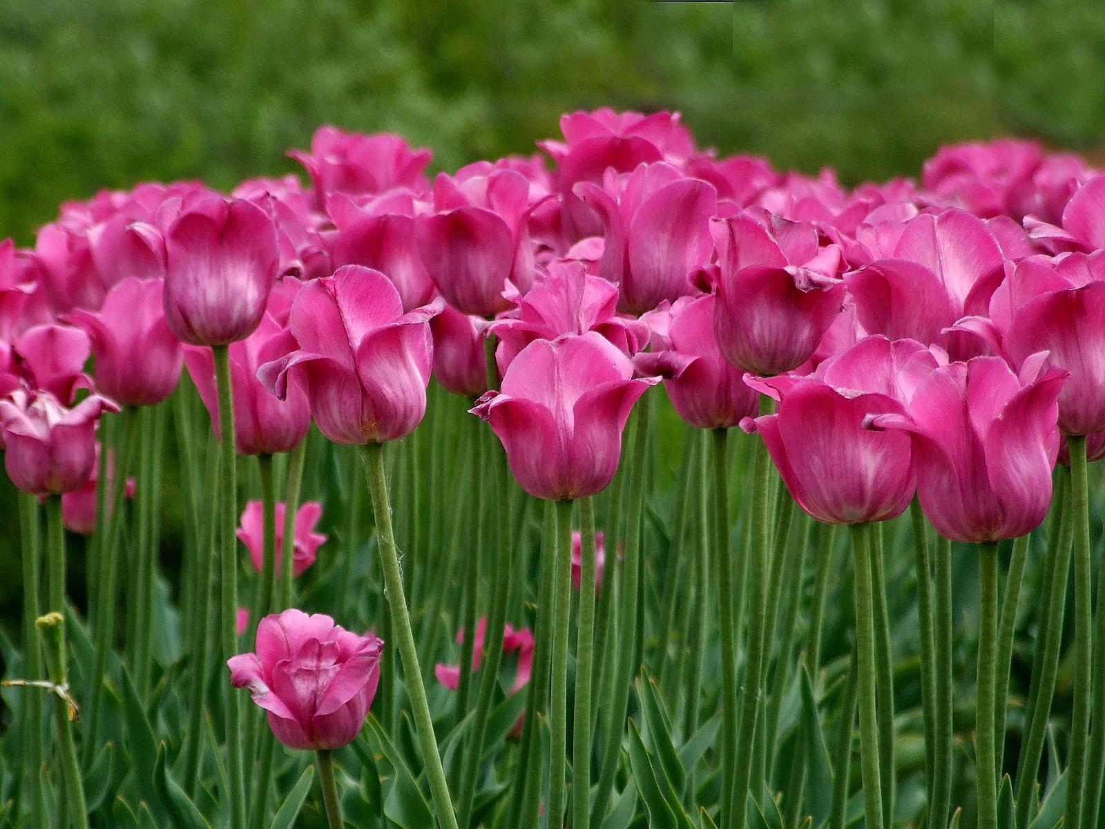 Fantastisch Tulpe Blume Malvorlagen Fotos - Entry Level Resume ...