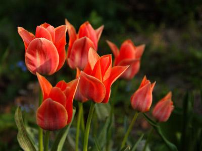 Frühling tulpen hintergrundbilder