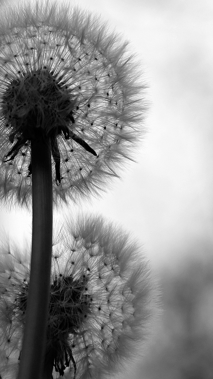 Löwenzahn Blumen Handy Hintergrundbilder Kostenlos