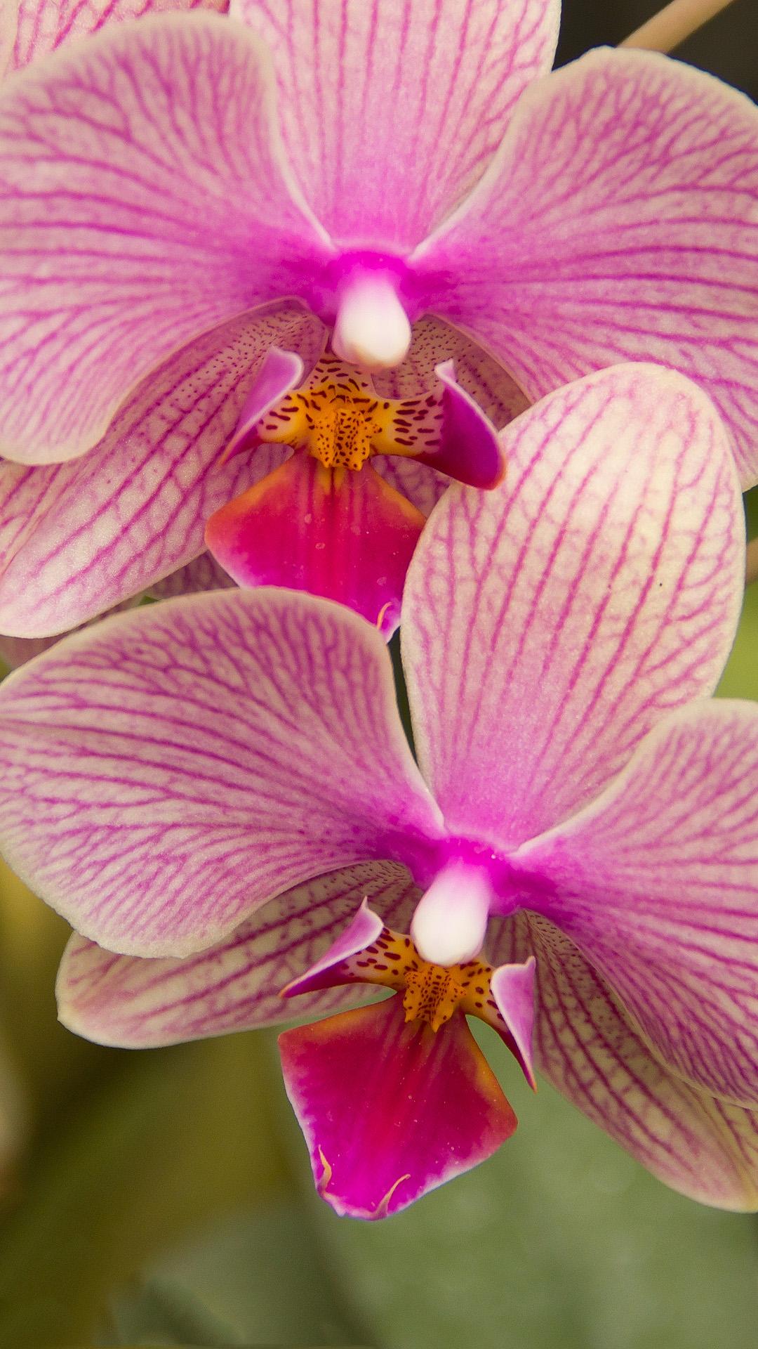 Orchidee Blumen Handy Hintergrundbilder Kostenlos