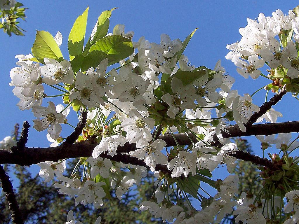 frühling  kirschblüte  kostenlose hintergrundbilder