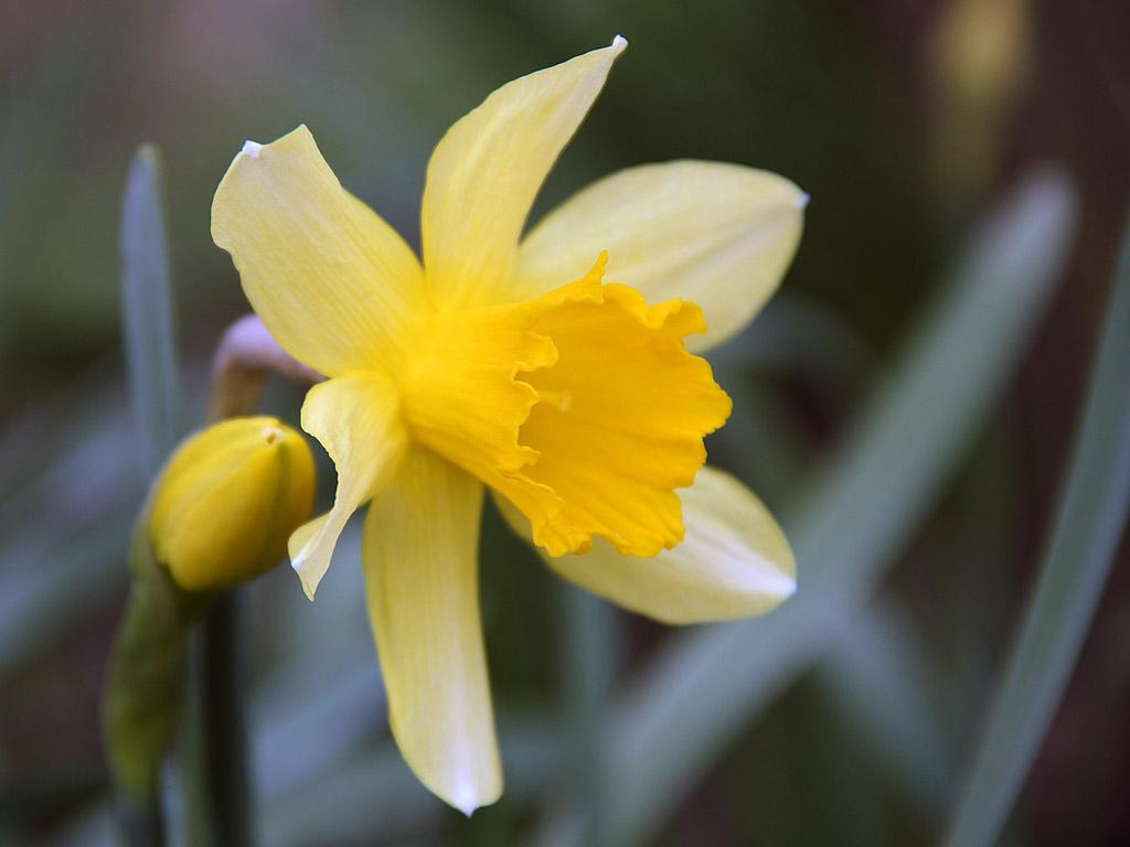 Frühling ist endlich da narzisse
