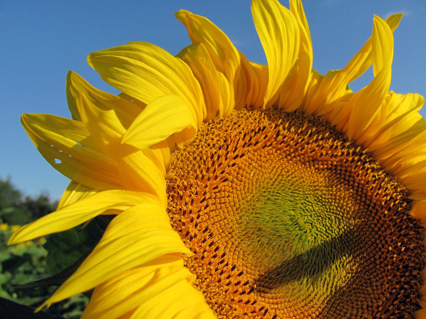 Sonnenblume - kostenlose Bilder