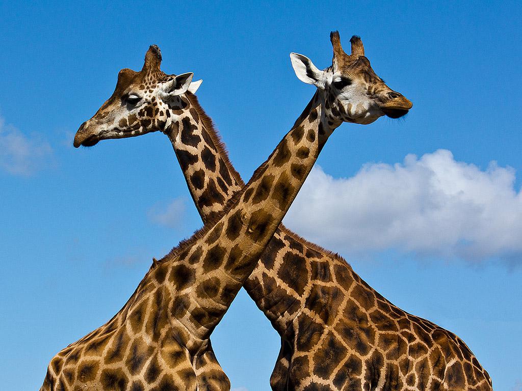 Жираф картинка картинка