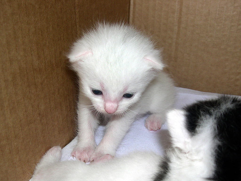 Kleine weisse Katze - Kostenloses Hintergrundbild