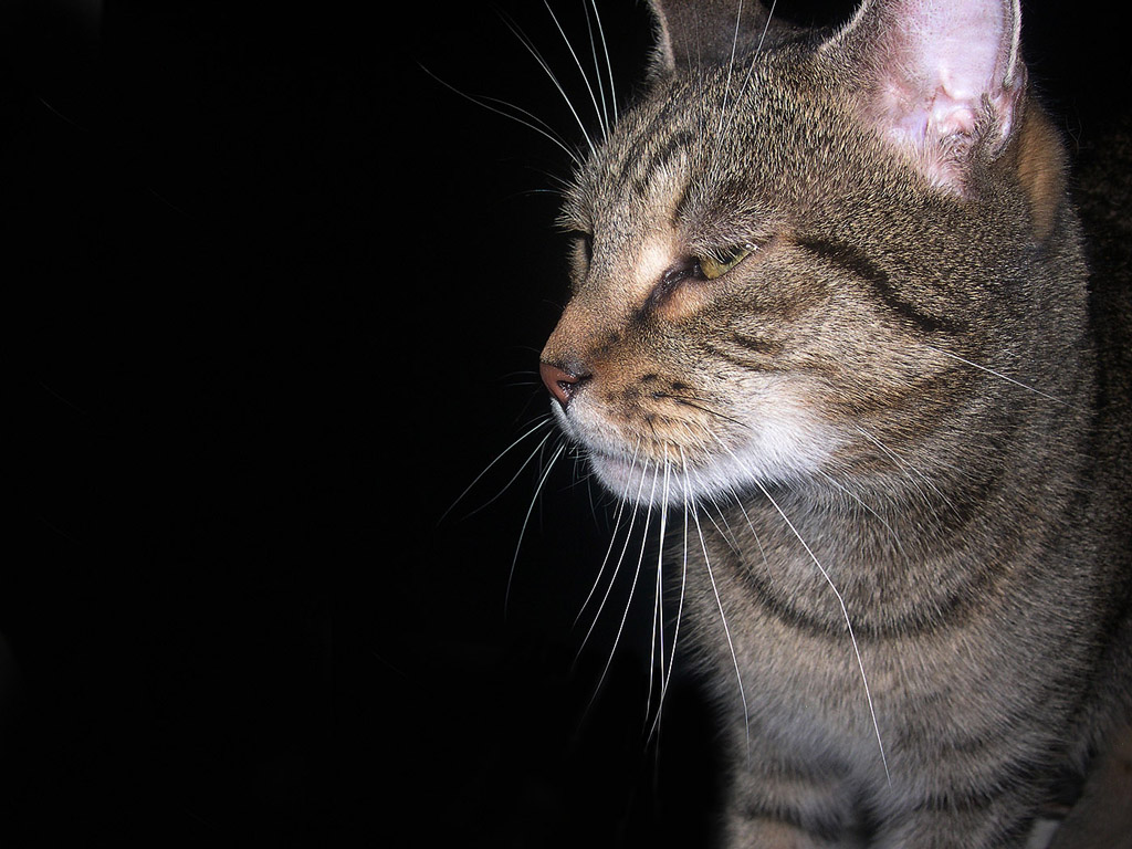 Getigerte Katze - Kostenloses Hintergrundbild & Whatsapp
